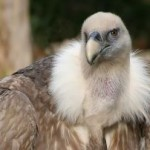 946625_vulture Herman Brinkman